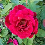08-red-rose.jpg