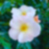03-white-rose.jpg