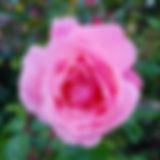 06-pink-rose.jpg