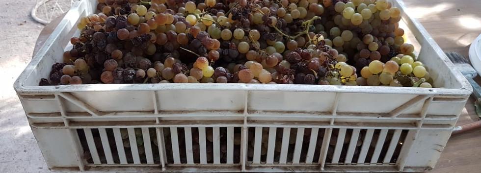 Uvas pisqueras Valle del Elqui