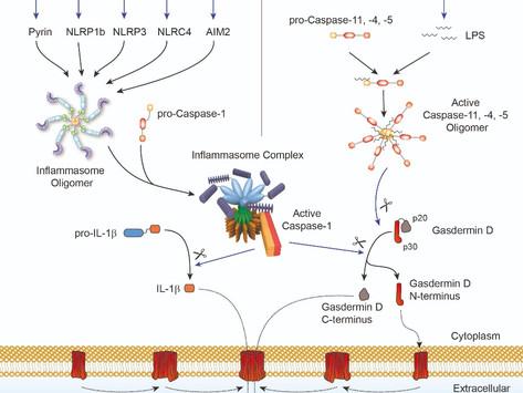 Inflammasomes and Gasdermin D Signaling Pathways