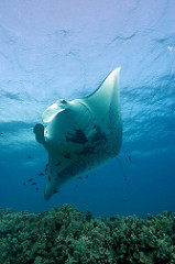 Lessons from the Manta Rays