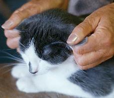 Cat.TT.Ear.jpg