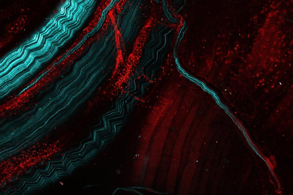 Nerve_Specific_Fluorophore.jpg