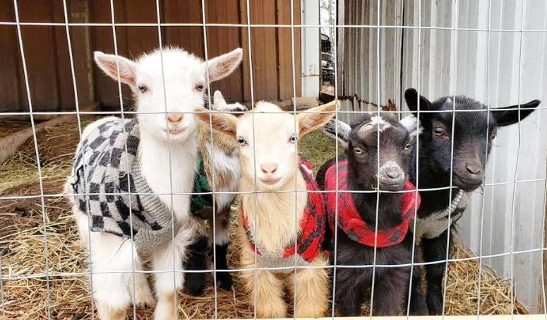 Goats 2019