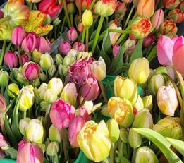 tulips 2019
