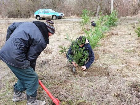 Працівники ДП «М'ясо Буковини» висадили на березі Пруту невеликий ліс