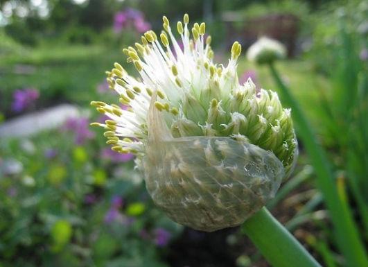 Перший гостинець сезону: особливості вирощування цибулі батун