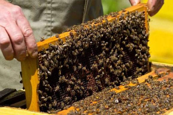 Бджола – запорука існування людства
