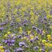 Найкращі добрива – зелені: вирощуємо рослини-сидерати для відновлення та підживлення ґрунту