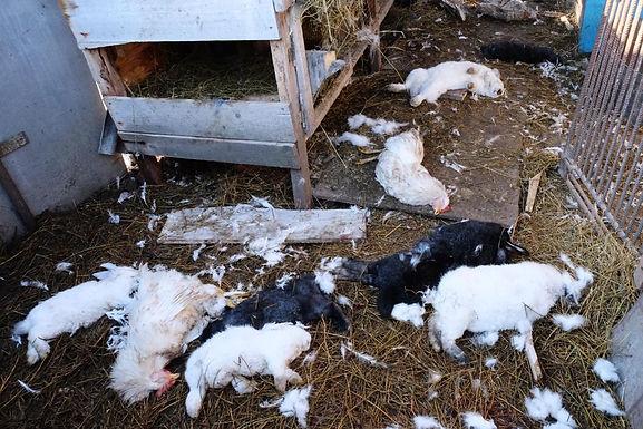 Невідомий хижак винищує свійських тварин: відео