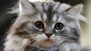 Сьогодні - День поваги кішки