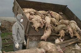 У Котелевому - спалах африканської чуми свиней