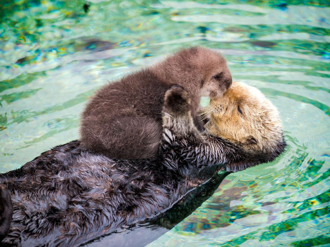 Baby sea otters can't swim.