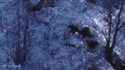 Une mère grizzli et ses deux oursons rôdent autour de la tanière