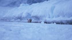 Une ourse vient d'émerger à quelques mètres... c'est le quotidien de l'inuit