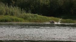 Un grizzli s'ébat à quelques mètres.