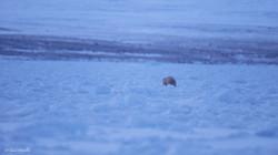 Dans le chaos de la banquise, mieux vaut avoir l'oeil ouvert, l'ours rôde...