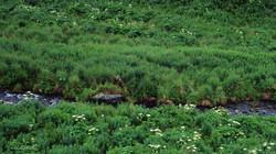 Pour cette mère et ses deux oursons la chasse devient plus facile