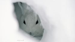Lièvre arctique au gîte