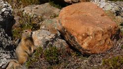 Ecureuil terrestre arctique
