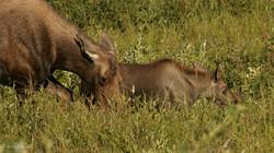 Elan femelle et son petit.