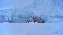 L'ourse et son ourson. Un deuxième se trouve au sommet de l'iceberg !