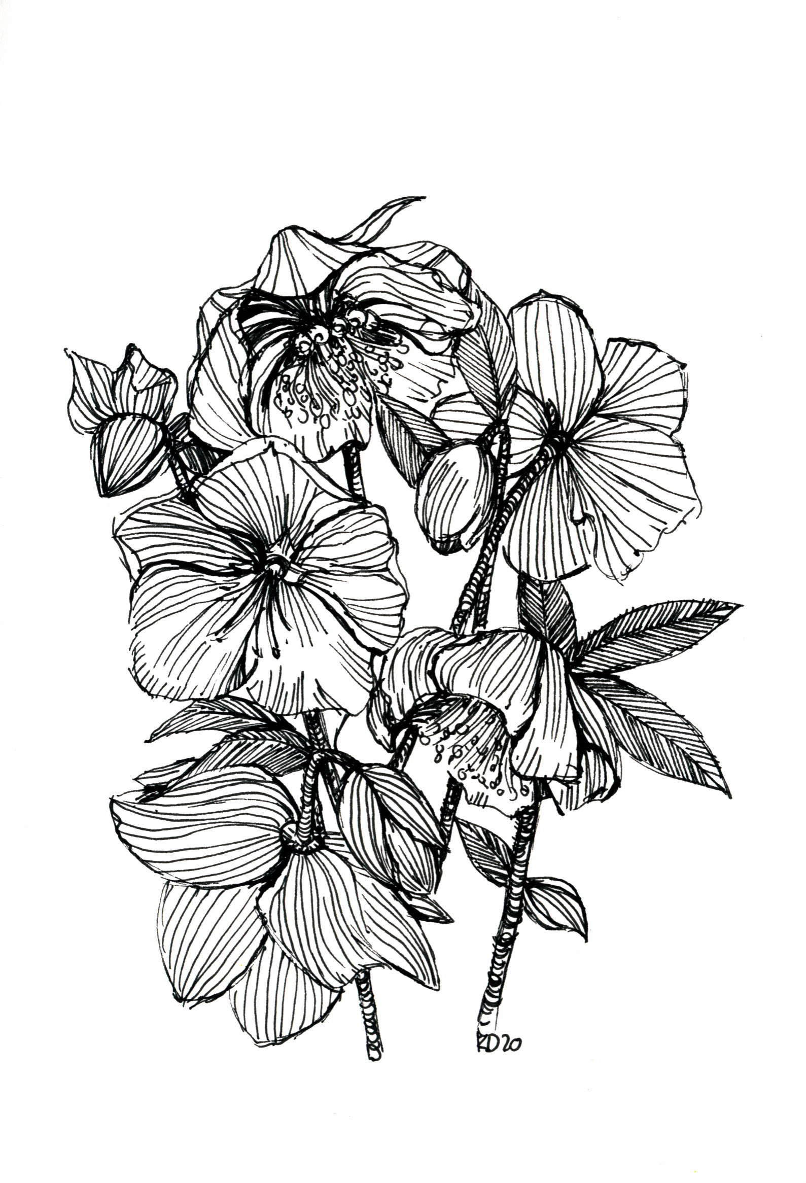 Hellebores- black and white sketch- pen,