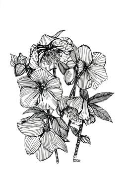 Hellebores- black and white sketch- pen,