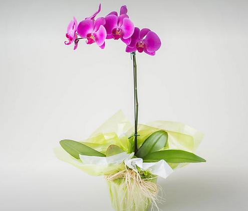 Orquídea Phalianopsis Pink