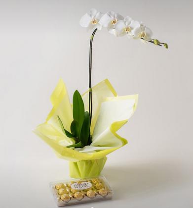 Orquídea Phaleanopsis branca com chocolate
