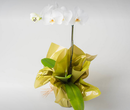 Orquídea Phaleanopsis Branca