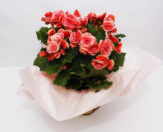 Begônia cor de rosa para presente
