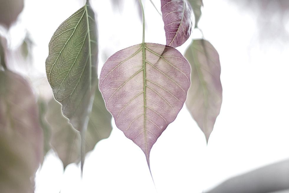 bo-leaf-5351172_edited.jpg