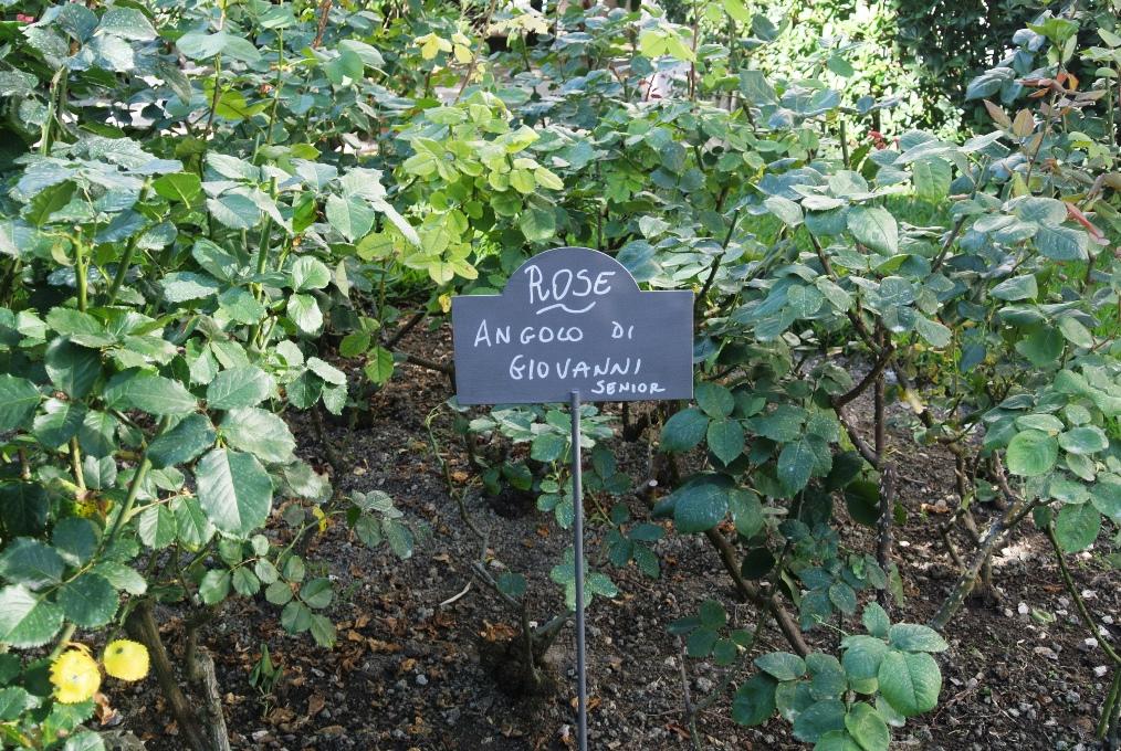 Die Rosen von Nonno Giovanni