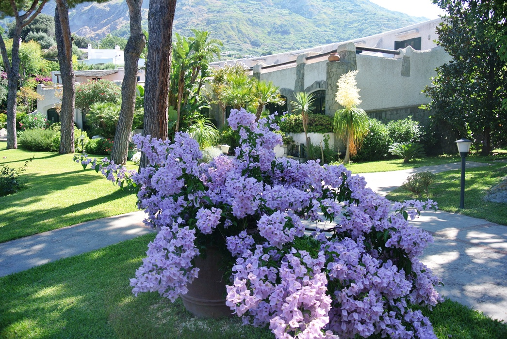 The Pink Bouganvillea
