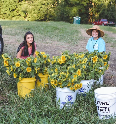 Sunflower picking.jpg
