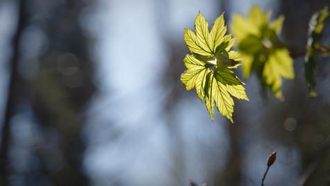 spring leaf 2020