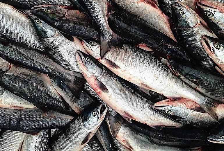 sustainable sockeye wild Alaska salmon Bristol Bay