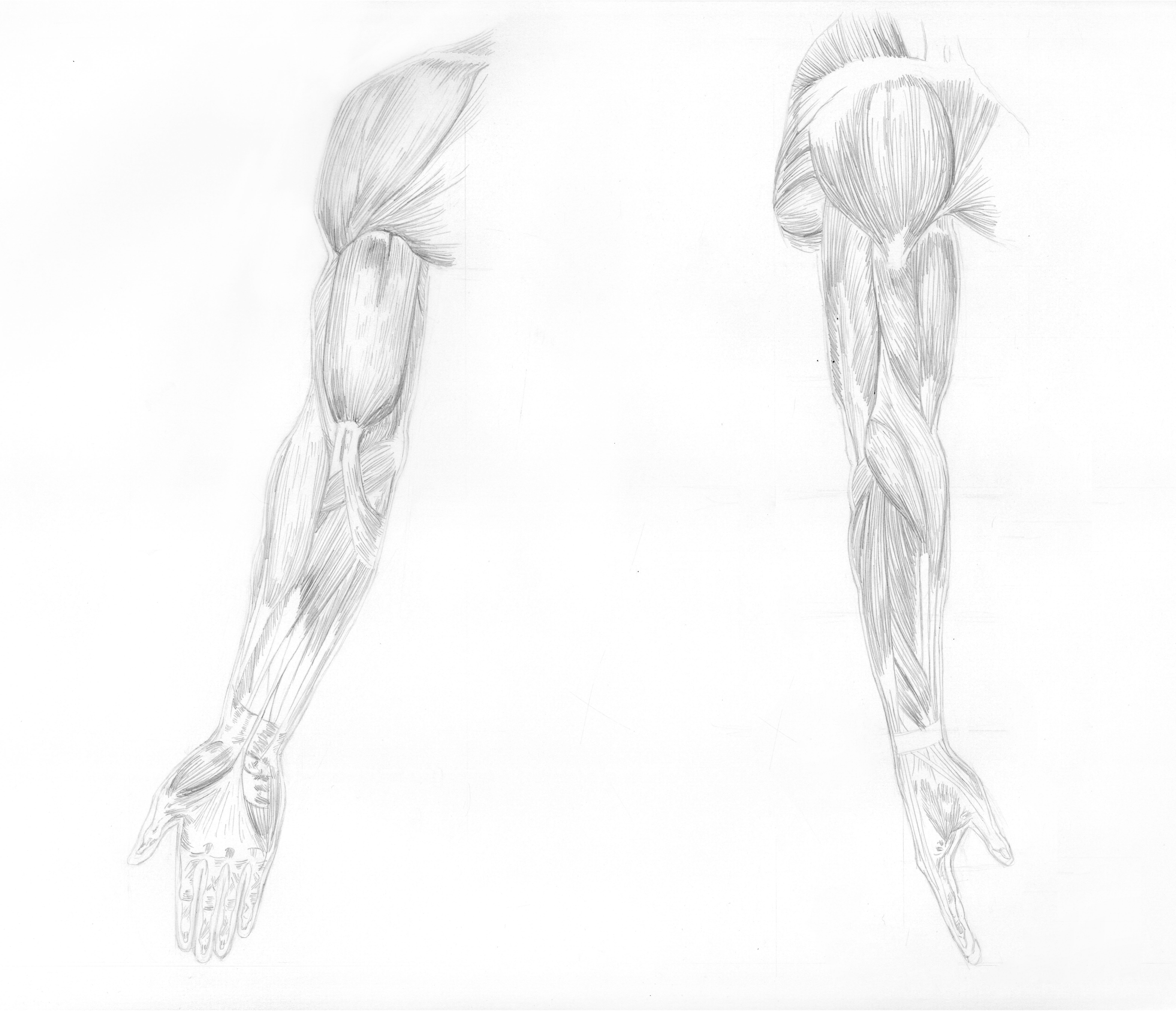 muscle arm study
