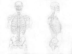 skeleton study 2
