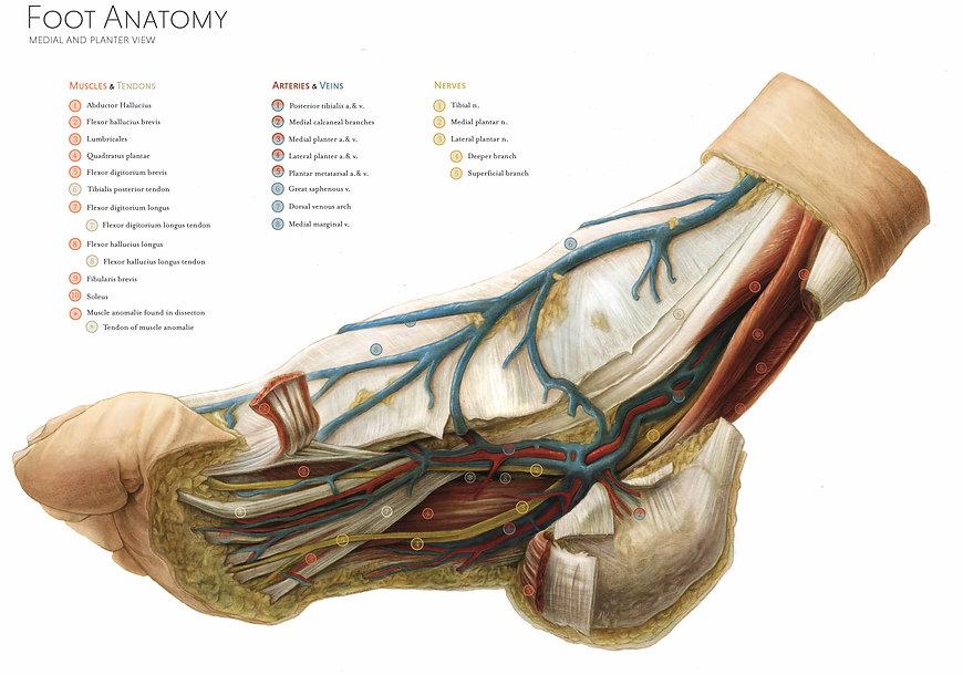 foot anatomy.jpg