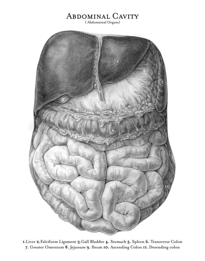 abdominal cavity convex .jpg