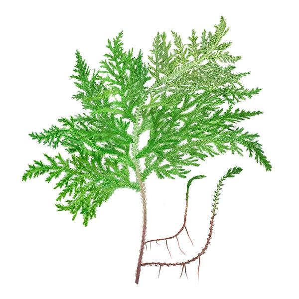selaginella moellendorffii leaf.jpg