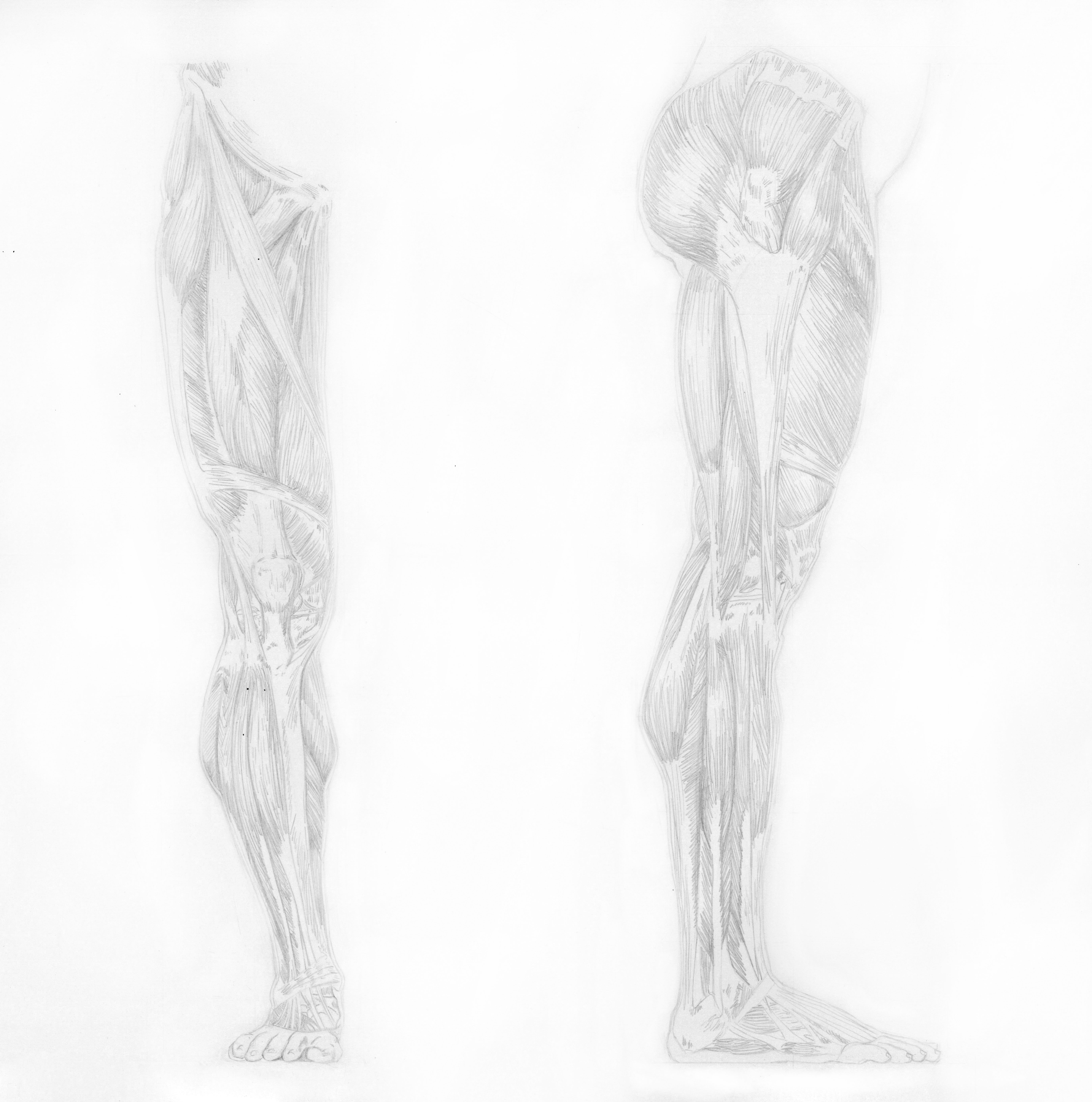 muscle leg study