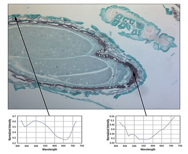Capsella bursa-pastoris embryo.jpg