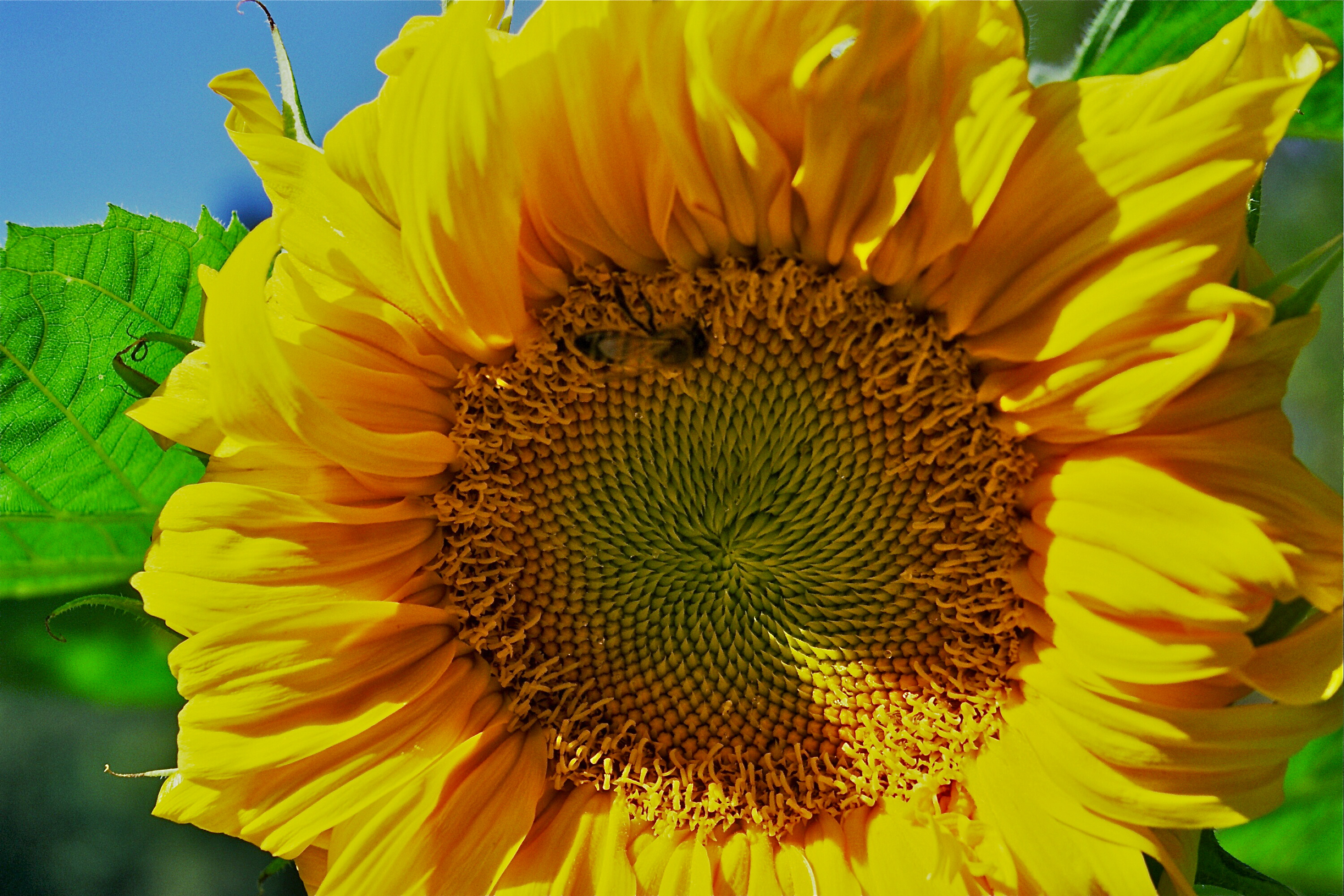 Sunflower013