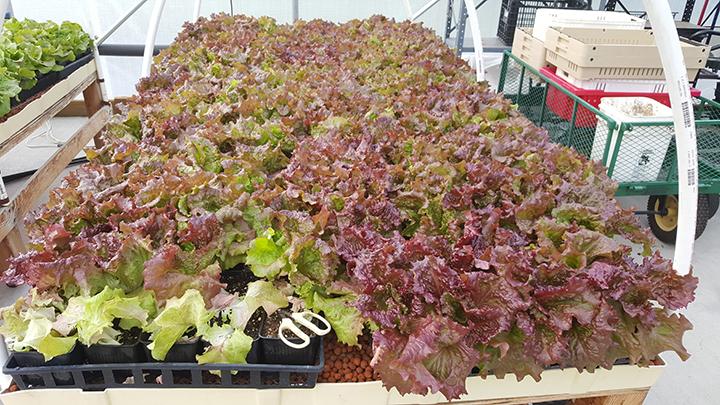 lettuce anyone