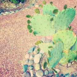 lascruces_american tumbleweed_cacti