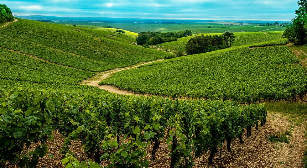 Vue des vignes depuis Chablis Beauregard